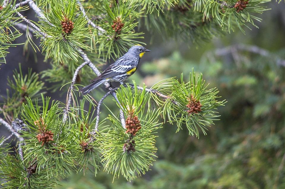 Rustling Pines